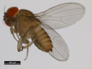 (Drosophila bunnanda - 14028-0721.00)  @14 [ ] CreativeCommons - Attribution Non-Commercial Share-Alike (2011) BIO Photography Group Biodiversity Institute of Ontario