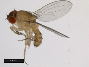 (Drosophila pectinifera - 14028-0731.00)  @14 [ ] CreativeCommons - Attribution Non-Commercial Share-Alike (2011) BIO Photography Group Biodiversity Institute of Ontario