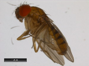 (Drosophila asahinai - 14028-0741.00)  @13 [ ] CreativeCommons - Attribution Non-Commercial Share-Alike (2011) BIO Photography Group Biodiversity Institute of Ontario