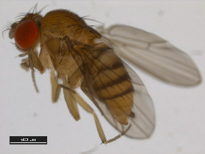 (Drosophila bocki - 14028-0751.00)  @13 [ ] CreativeCommons - Attribution Non-Commercial Share-Alike (2011) BIO Photography Group Biodiversity Institute of Ontario