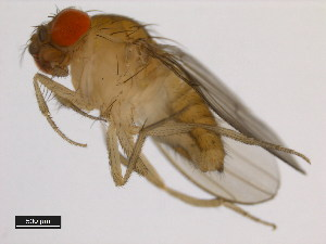 (Drosophila rhopaloa - 14029-0021.01)  @14 [ ] CreativeCommons - Attribution Non-Commercial Share-Alike (2011) BIO Photography Group Biodiversity Institute of Ontario