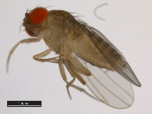 (Drosophila capricorni - 14030-0721.00)  @15 [ ] CreativeCommons - Attribution Non-Commercial Share-Alike (2011) BIO Photography Group Biodiversity Institute of Ontario