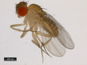(Drosophila equinoxialis - 14030-0741.00)  @11 [ ] CreativeCommons - Attribution Non-Commercial Share-Alike (2011) BIO Photography Group Biodiversity Institute of Ontario