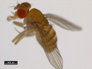(Drosophila equinoxialis - 14030-0741.01)  @11 [ ] CreativeCommons - Attribution Non-Commercial Share-Alike (2011) BIO Photography Group Biodiversity Institute of Ontario