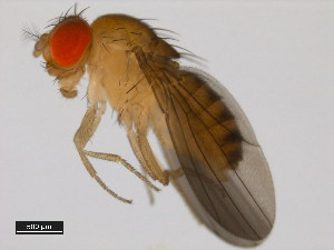 (Drosophila nebulosa - 14030-0761.06)  @15 [ ] CreativeCommons - Attribution Non-Commercial Share-Alike (2011) BIO Photography Group Biodiversity Institute of Ontario