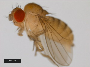 (Drosophila paulistorum - 14030-0771.11)  @14 [ ] CreativeCommons - Attribution Non-Commercial Share-Alike (2011) BIO Photography Group Biodiversity Institute of Ontario