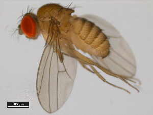 (Drosophila sucinea - 14030-0791.02)  @14 [ ] CreativeCommons - Attribution Non-Commercial Share-Alike (2011) BIO Photography Group Biodiversity Institute of Ontario
