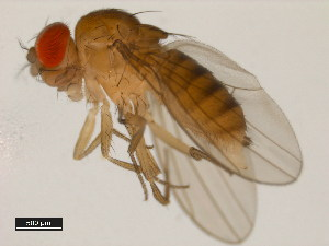 (Drosophila tropicalis - 14030-0801.01)  @12 [ ] CreativeCommons - Attribution Non-Commercial Share-Alike (2011) BIO Photography Group Biodiversity Institute of Ontario