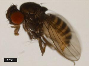 (Drosophila neocordata - 14041-0831.00)  @13 [ ] CreativeCommons - Attribution Non-Commercial Share-Alike (2011) BIO Photography Group Biodiversity Institute of Ontario
