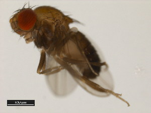 (Drosophila emarginata - 14042-0841.08)  @11 [ ] CreativeCommons - Attribution Non-Commercial Share-Alike (2011) BIO Photography Group Biodiversity Institute of Ontario