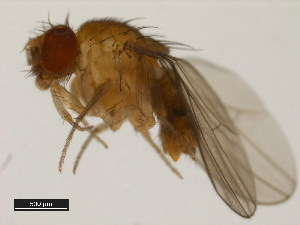 (Drosophila emarginata - 14042-0841.09)  @11 [ ] CreativeCommons - Attribution Non-Commercial Share-Alike (2011) BIO Photography Group Biodiversity Institute of Ontario