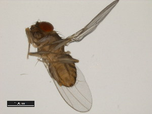 (Drosophila dacunhai - 14043-0854.00)  @12 [ ] CreativeCommons - Attribution Non-Commercial Share-Alike (2011) BIO Photography Group Biodiversity Institute of Ontario