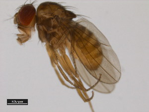 (Drosophila milleri - 14043-0861.00)  @12 [ ] CreativeCommons - Attribution Non-Commercial Share-Alike (2011) BIO Photography Group Biodiversity Institute of Ontario