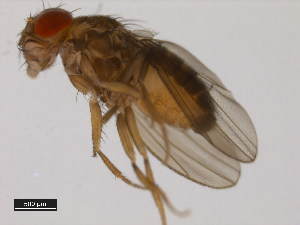 (Drosophila sturtevanti - 14043-0871.10)  @14 [ ] CreativeCommons - Attribution Non-Commercial Share-Alike (2011) BIO Photography Group Biodiversity Institute of Ontario