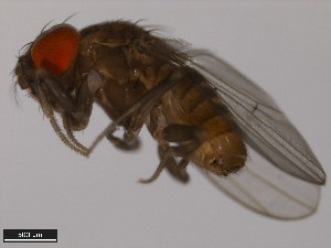 (Drosophila austrosaltans - 14045-0881.00)  @14 [ ] CreativeCommons - Attribution Non-Commercial Share-Alike (2011) ANIC/BIO Photography Group ANIC/Biodiversity Institute of Ontario