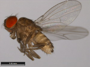 (Drosophila prosaltans - 14045-0901.06)  @13 [ ] CreativeCommons - Attribution Non-Commercial Share-Alike (2011) ANIC/BIO Photography Group ANIC/Biodiversity Institute of Ontario