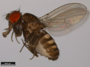(Drosophila prosaltans - 14045-0901.07)  @13 [ ] CreativeCommons - Attribution Non-Commercial Share-Alike (2011) ANIC/BIO Photography Group ANIC/Biodiversity Institute of Ontario