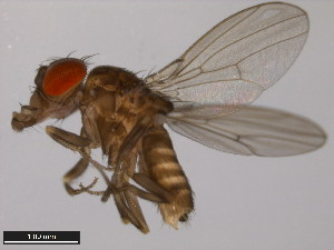 (Drosophila saltans - 14045-0911.02)  @14 [ ] CreativeCommons - Attribution Non-Commercial Share-Alike (2011) ANIC/BIO Photography Group ANIC/Biodiversity Institute of Ontario