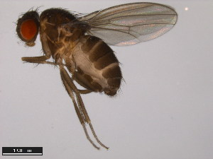 (Drosophila hirtipes - 15000-2595.01)  @15 [ ] CreativeCommons - Attribution Non-Commercial Share-Alike (2011) ANIC/BIO Photography Group ANIC/Biodiversity Institute of Ontario