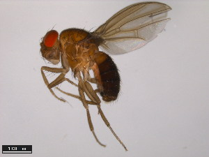 (Drosophila fraburu - 15000-2597.00)  @15 [ ] CreativeCommons - Attribution Non-Commercial Share-Alike (2011) ANIC/BIO Photography Group ANIC/Biodiversity Institute of Ontario