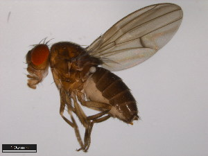 (Drosophila americana - 15010-0951.14)  @14 [ ] CreativeCommons - Attribution Non-Commercial Share-Alike (2011) ANIC/BIO Photography Group ANIC/Biodiversity Institute of Ontario