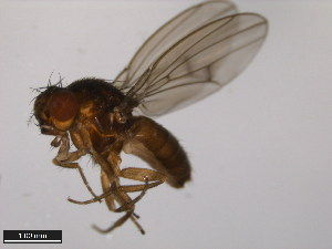 (Drosophila borealis - 15010-0961.00)  @13 [ ] CreativeCommons - Attribution Non-Commercial Share-Alike (2011) ANIC/BIO Photography Group ANIC/Biodiversity Institute of Ontario