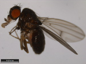(Drosophila borealis - 15010-0961.10)  @13 [ ] CreativeCommons - Attribution Non-Commercial Share-Alike (2011) ANIC/BIO Photography Group ANIC/Biodiversity Institute of Ontario