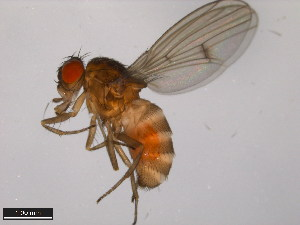 (Drosophila ezoana - 15010-0971.00)  @11 [ ] CreativeCommons - Attribution Non-Commercial Share-Alike (2011) ANIC/BIO Photography Group ANIC/Biodiversity Institute of Ontario