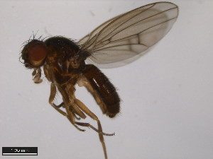 (Drosophila flavomontana - 15010-0981.00)  @14 [ ] CreativeCommons - Attribution Non-Commercial Share-Alike (2011) ANIC/BIO Photography Group ANIC/Biodiversity Institute of Ontario