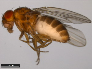 (Drosophila flavomontana - 15010-0981.05)  @14 [ ] CreativeCommons - Attribution Non-Commercial Share-Alike (2011) ANIC/BIO Photography Group ANIC/Biodiversity Institute of Ontario