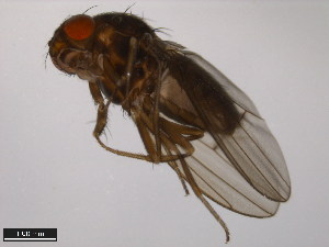 (Drosophila lacicola - 15010-0991.00)  @12 [ ] CreativeCommons - Attribution Non-Commercial Share-Alike (2011) ANIC/BIO Photography Group ANIC/Biodiversity Institute of Ontario