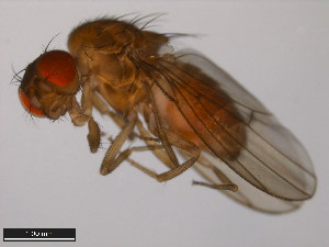 (Drosophila littoralis - 15010-1001.03)  @14 [ ] CreativeCommons - Attribution Non-Commercial Share-Alike (2011) ANIC/BIO Photography Group ANIC/Biodiversity Institute of Ontario
