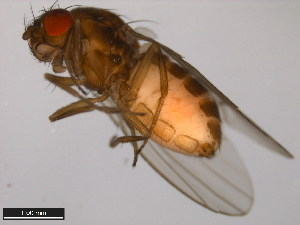 (Drosophila lummei - 15010-1011.07)  @13 [ ] CreativeCommons - Attribution Non-Commercial Share-Alike (2011) ANIC/BIO Photography Group ANIC/Biodiversity Institute of Ontario