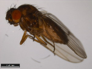 (Drosophila montana - 15010-1021.18)  @15 [ ] CreativeCommons - Attribution Non-Commercial Share-Alike (2011) ANIC/BIO Photography Group ANIC/Biodiversity Institute of Ontario