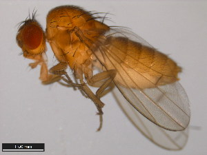 (Drosophila novamexicana - 15010-1031.14)  @15 [ ] CreativeCommons - Attribution Non-Commercial Share-Alike (2011) ANIC/BIO Photography Group ANIC/Biodiversity Institute of Ontario