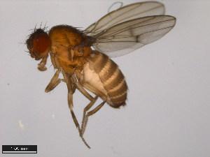 (Drosophila americana - 15010-1041.25)  @14 [ ] CreativeCommons - Attribution Non-Commercial Share-Alike (2011) ANIC/BIO Photography Group ANIC/Biodiversity Institute of Ontario