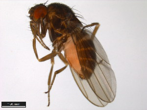 (Drosophila kanekoi - 15010-1061.00)  @14 [ ] CreativeCommons - Attribution Non-Commercial Share-Alike (2011) ANIC/BIO Photography Group ANIC/Biodiversity Institute of Ontario