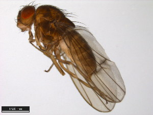 (Drosophila canadiana - 15010-1091.00)  @13 [ ] CreativeCommons - Attribution Non-Commercial Share-Alike (2011) ANIC/BIO Photography Group ANIC/Biodiversity Institute of Ontario