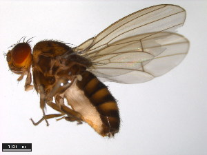 (Drosophila lacertosa - 15020-1101.02)  @14 [ ] CreativeCommons - Attribution Non-Commercial Share-Alike (2011) ANIC/BIO Photography Group ANIC/Biodiversity Institute of Ontario