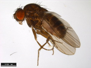 (Drosophila robusta - 15020-1111.13)  @15 [ ] CreativeCommons - Attribution Non-Commercial Share-Alike (2011) ANIC/BIO Photography Group ANIC/Biodiversity Institute of Ontario