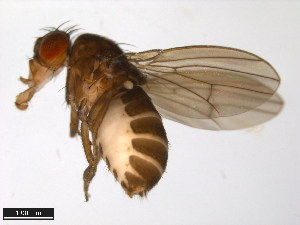 (Drosophila sordidula - 15020-1121.01)  @14 [ ] CreativeCommons - Attribution Non-Commercial Share-Alike (2011) ANIC/BIO Photography Group ANIC/Biodiversity Institute of Ontario