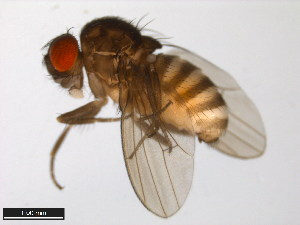 (Drosophila euronotus - 15030-1131.01)  @11 [ ] CreativeCommons - Attribution Non-Commercial Share-Alike (2011) ANIC/BIO Photography Group ANIC/Biodiversity Institute of Ontario