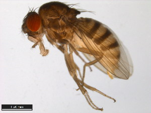 (Drosophila melanica - 15030-1141.03)  @15 [ ] CreativeCommons - Attribution Non-Commercial Share-Alike (2011) ANIC/BIO Photography Group ANIC/Biodiversity Institute of Ontario