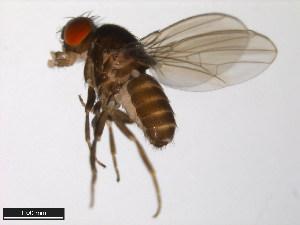 (Drosophila micromelanica - 15030-1151.01)  @14 [ ] CreativeCommons - Attribution Non-Commercial Share-Alike (2011) ANIC/BIO Photography Group ANIC/Biodiversity Institute of Ontario