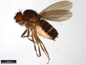(Drosophila nigromelanica - 15030-1171.00)  @14 [ ] CreativeCommons - Attribution Non-Commercial Share-Alike (2011) ANIC/BIO Photography Group ANIC/Biodiversity Institute of Ontario
