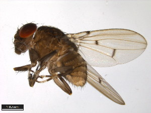 (Drosophila talamancana - 15040-1191.00)  @13 [ ] CreativeCommons - Attribution Non-Commercial Share-Alike (2011) ANIC/BIO Photography Group ANIC/Biodiversity Institute of Ontario