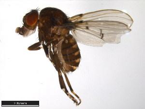 (Drosophila talamancana - 15040-1191.01)  @13 [ ] CreativeCommons - Attribution Non-Commercial Share-Alike (2011) ANIC/BIO Photography Group ANIC/Biodiversity Institute of Ontario