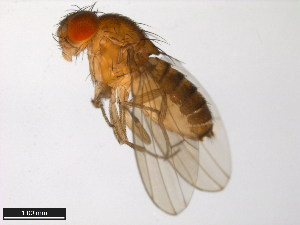(Drosophila gaucha - 15070-1231.03)  @13 [ ] CreativeCommons - Attribution Non-Commercial Share-Alike (2011) ANIC/BIO Photography Group ANIC/Biodiversity Institute of Ontario