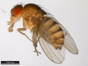 (Drosophila gaucha - 15070-1231.04)  @13 [ ] CreativeCommons - Attribution Non-Commercial Share-Alike (2011) ANIC/BIO Photography Group ANIC/Biodiversity Institute of Ontario