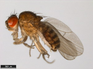 (Drosophila aldrichi - 15081-1251.19)  @14 [ ] CreativeCommons - Attribution Non-Commercial Share-Alike (2011) ANIC/BIO Photography Group ANIC/Biodiversity Institute of Ontario